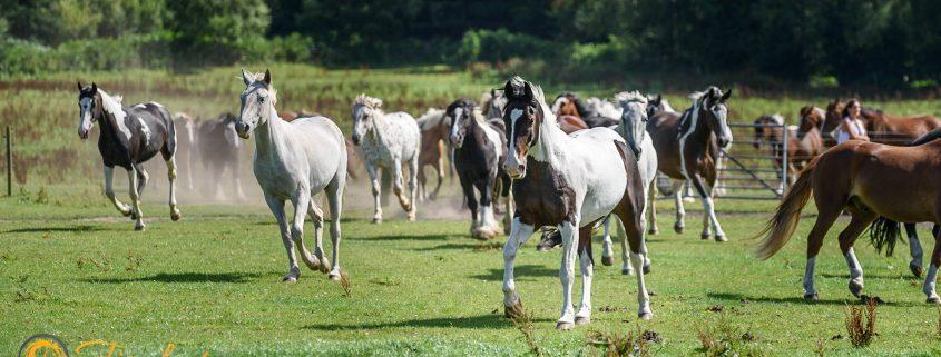 cannock chase trekking centre, herd