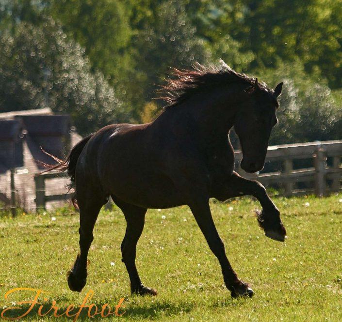 Friesian horse, Oberon