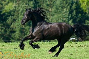 Oberon, Friesian